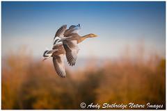Wild Flight (www.andystuthridgenatureimages.co.uk) Tags: geese goose greylag winter fly flying flight wings two pair sky trees slim bridge wwt bird animal wildfowl