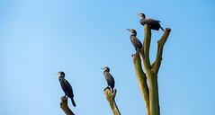 Quartett ... (Konrads Bilderwerkstatt) Tags: kormoran holz stamm schnabel guido konrad feder vier tiere vögel licht schatten sommer himmel blau sony alpha 77m2 sal 55300 beine füse höhe foto bild natur