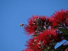 Summertime (Home Land & Sea) Tags: nz newzealand hawkesbay napier summer flowering tree metrosiderosexcelsa pohutukawa newzealandschristmastree bee sooc sonycybershot dschx100v pointshoot homelandsea