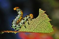 (Arge ochropus) (Zéza Lemos) Tags: lagarta lagartas butterflies borboleta borboletas animais insectos natureza natur insetos rosas rose roseiras jardim algarve jardins jardineiro argeochropus vilamoura portugal