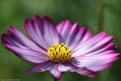cosmos (LLD photographie) Tags: cosmos