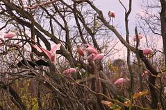 Roseate Spoonbills (npbiffar) Tags: tree river animal bird spoonbill roseate roost npbiffar 70300mm d7100 nikon coth5