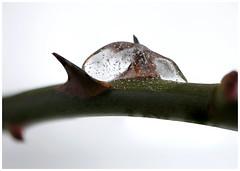 Rose thorns and ice (Eklandet) Tags: close focusstacking closeup closeupphotography samsung macrophotography macro macrocloseup macrolense nature naturephotography scandinavia sweden rose thorns ice