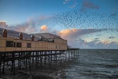 Aberystwyth. Again (Maisiebeth) Tags: midwales powys ceredigion seaside dusk coast welshcoast starlings pier murmuration birds flight flying