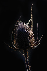 Rimlit Teasel (Hugobian) Tags: teasel teasle flora nature light sun frost ice backlight macro fairlands valley stevenage pentax k1 lake