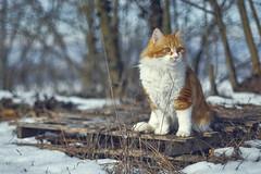 Palmi, the Lion-Cat (stefanobosia) Tags: cat gatto portrait ritratto fujifilm xt20 snow neve winter inverno pet animali chat palmithecat