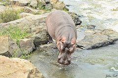 Hippo by the river (John_Toet) Tags: wildlife marlothpark moumalanga animal nature bush outdoor kruger krugernationalpark picture photographer wildphotgrapher zoo southafrica2019 krugersafari wildanimal big5 bushwalking suidafrika