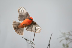 Show off  !!! (alicecahill) Tags: ca california usa wild wildlife ©alicecahill sanluisobispocounty bird red slocounty vermilionflycatcher sanluisobispo flycatcher lagunalake animal
