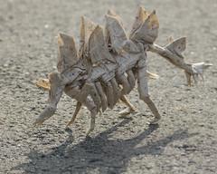 Stegosaurus skeleton (bodorigami) Tags: origami bodo haag bodorigami papier paper paperfolding 48 bp box stegosaurus plates bones street skeleton skelett