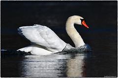 Mute Swan (RKop) Tags: raphaelkopanphotography springgrovecemetery cincinnati ohio d500 600mmf4evr 14xtciii nikon