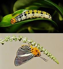 METAMORPHOSIS - Pale Green Awlet (Burara gomata, Coeliadinae, Hesperiidae) (John Horstman (itchydogimages, SINOBUG)) Tags: insect macro china yunnan itchydogimages sinobug entomology collage metamorphosis butterfly lepidoptera skipper hesperiidae caterpillar larva burara gomata buraragomata awlet coeliadinae tweet
