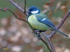 Carbonero común (Parus major) (4) (eb3alfmiguel) Tags: pájaros passeriformes insectívoros paridae carbonero común parus major