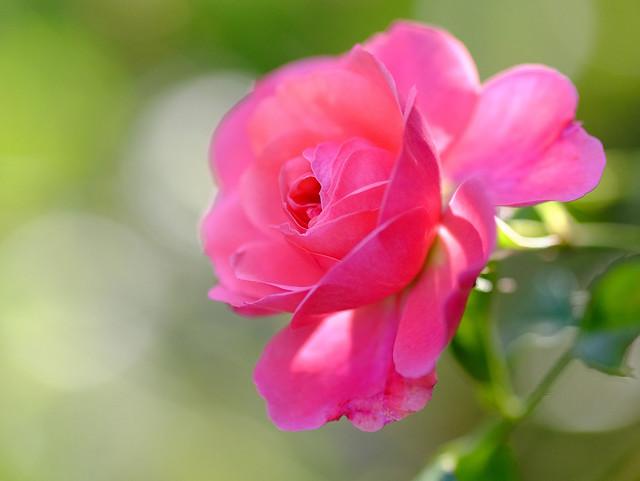 Обои макро, роза, бутон, боке картинки на рабочий стол, раздел цветы - скачать