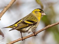 Siskin (kc02photos) Tags: siskin carduelisspinus lackfordlakes suffolk england uk birdphotography