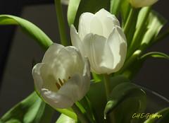 Weiße Tulpen (CH.E.G.Fotografie) Tags: tulpen blumen pflanzen