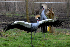 Crowned Crane (Glenn Pye) Tags: crownedcrane birds bird wildlife nature martinmere wwt nikon nikond7200