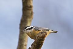 male nuthatch close (G_Anderson) Tags: nuthatch missouri winter birding backyard