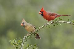 Northern cardinal pair (tinahay) Tags: riograndevalley birds alamo texas nature santaclararanch