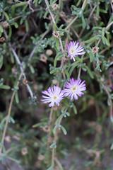 IMG_1315 (jaglazier) Tags: 122018 2018 cerrosantalucia chile december plants santalucia santiago urbanism cities copyright2018jamesaglazier flowers gardens parks purple