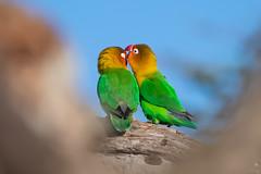 A Kiss on the Eyebrow (Kitty Kono) Tags: lovebirds kiss eyebrow ndutu tanzania eastafrica kittyrileykono