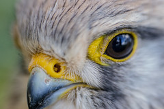 Montbarrey (France, 2019) (theodirector) Tags: bird birds oiseau animal nature naturelover naturephotography naturelovers animals animallover wild wilderness sauvage savage falcon beak birdeyes birdlover jura franchecomté franchecomte feathers birdphotography birdsphotography france animalphotography animalsphotography montbarrey yellow bokeh macro macrophotography closeup face birdface