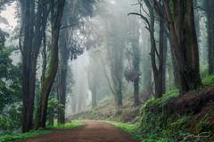 Afternoon's fog (jorgeverdasca) Tags: goth trees forest woodland mist fog nature sintra portugal