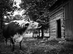 ox tongue (Jen MacNeill) Tags: ox oxen lineback randall tongue out bovine cattle cow barn rural rustic animal farm log agriculture bnw bw blackandwhite landisvalleymuseum
