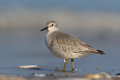 Knot (Calidris canutus) (Wildlife Photography by Matt Latham) Tags: 7dmarkii calidriscanutus canon knot mattlatham norfolk northnorfolk photography rspb redknot titchwellrspb unitedkingdom bird birdphotography nature naturephotography wader wildlife wildlifephotography