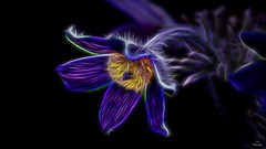 Glow in the Dark..... (Piet photography) Tags: macro pulsatilla artwork electric glow glowinthedark aoi elitegalleryaoi bestcapturesaoi