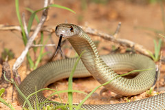 Mulga Snake (Pseudechis australis) (elliotbudd) Tags: elliot budd qld queensland herping herp herpetology photography mulga snake king brown elapid elapidae pseudechis australis common venomous