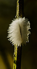 814.365-084  Snagged Feather (ianbartlett) Tags: outdoor 365 nature buds flowers trees light feathers leaves colour