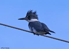 Belted Kingfisher (bug-in-my-eye) Tags: aves coraciiformes alcedinidae