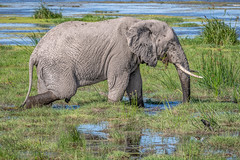 Feeding in the Swamp (helenehoffman) Tags: africa elephant loxodontaafricana kenya conservationstatusvulnerable africanbushelephant amboselinationalpark animal animalplanet