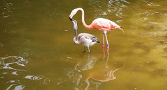 Flamands roses (claude 22) Tags: zoolapalmyre palmyre zoo france animal animaux parc park royan parcdattraction zoological sauvages wild animals flamands roses flamingo