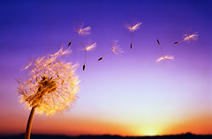 Benefits of Dandelion (Read News) Tags: medicinal plants benefits dandelion herbs their uses trees articles guide list beginnings clearsky delicate evening expanding floating growth morning naturalworld new nobody outdoors possibility seedhead seeds singleobject sky softness sunrise sunset weed wind