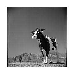 cow • border, nevada • 2018 (lem's) Tags: cow giant géante vache frontière border nevada california rolleilfex t