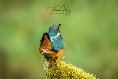 20190407-DSC_3669 (frankreiz) Tags: ijsvogel kingfisher kingfisherhouse frankreiz
