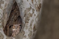 Nap Time (Kevin E Fox) Tags: greathornedowl owl owlet bird birdwatching birding birds birdofprey birdphotography raptor nature nikond500 nikon mountjoy pa pennsylvania sigma150600sport sigma