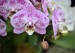 Orchids (KaDeWeGirl) Tags: newyorkcity bronx botanical garden nybg orchid show purple flower