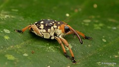 Weevil, Peridinetus sp., Curculionidae (Ecuador Megadiverso) Tags: andreaskay beetle coleoptera curculionidae ecuador weevil peridinetus