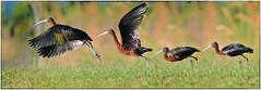 Glossy Ibis takeoff (RKop) Tags: apollobeach florida raphaelkopanphotography psd d500 600mmf4evr nikon
