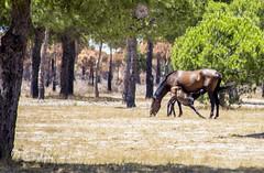 HUELVA 2_41 (Almu_Martinez_Jiménez) Tags: huelva sunset fuego doñana incendio 17 campo muerte vida canon canonista sol animales caballo horses