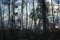 Trees. (dccradio) Tags: lumberton nc northcarolina robesoncounty outdoor outdoors outside nature natural sky tree trees woods wooded forest march monday spring springtime evening mondayevening goodevening nikon d40 dslr cloud clouds
