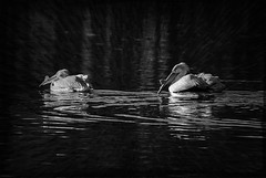 Pelicans In Black and White (garywitte845) Tags: americanwhitepelican whitepelican pelican pelecanuserythrorbynchos pelicanspelecanidae bird waterbird nature animal texture bw blackwhite
