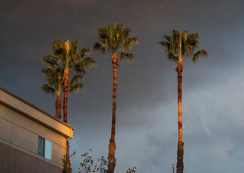 Palm Trees in Sunlight on Cloudy Evening - West Hollywood