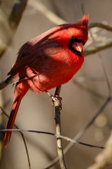 They Say It's Spring (Eric Tischler) Tags: cardinal bird ohio red branches