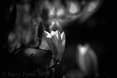 The light within (mono) (Barry Potter (EdenMedia)) Tags: barrypotter edenmedia nikon d7200 magnolia flower