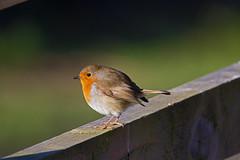 Robin - RSPB Exminster Marshes - Exeter, Devon - Jan 2019 (Dis da fi we) Tags: robin rspb exminster marshes exeter devon