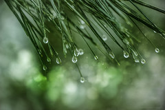 Drop Zone (peterscott12) Tags: drops water drips rain dew pine needles evergreen conifer bokeh