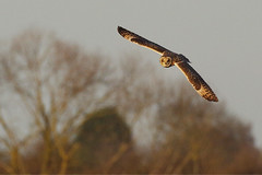 IMGP4247a Short-eared Owl, Burwell Fen, December 2016 (bobchappell55) Tags: shortearedowl asioflammeus bird flight burwellfen cambridgeshire